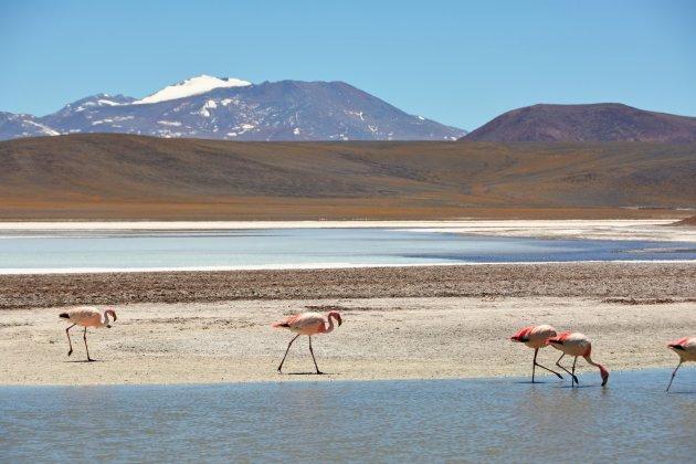 Andes flamingo's aan het Laguna Brava