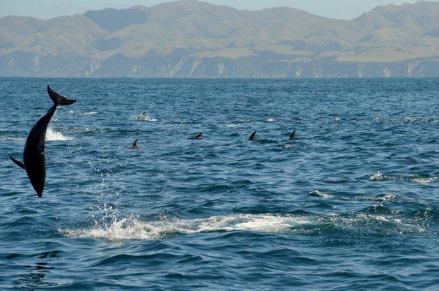 Honderden dolfijnen bij Kaikoura, Nieuw Zeeland