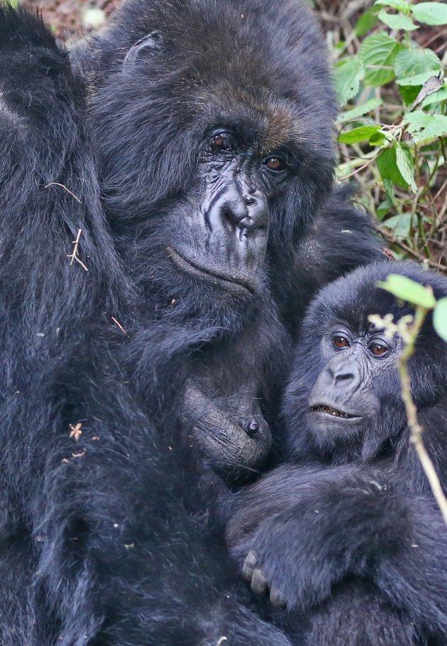 Berggorilla met haar baby