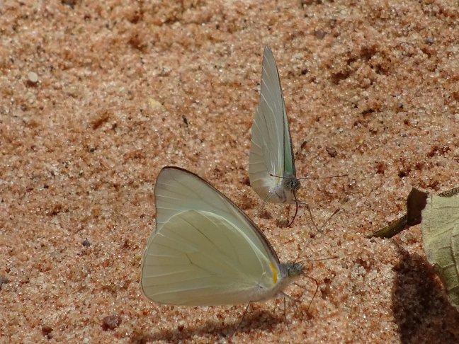 Maagdelijk witte vlinders en haarscherpe zandkorrels