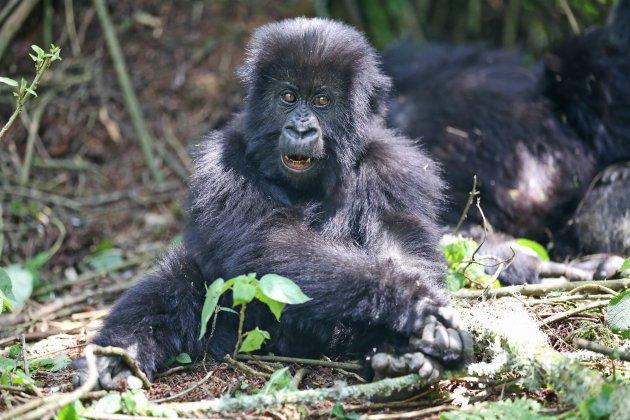 Gorilla peuter