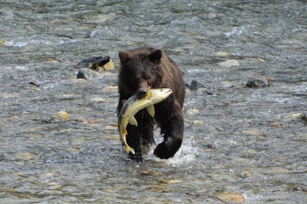 Grizzly's spotten vanuit Vancouver Island
