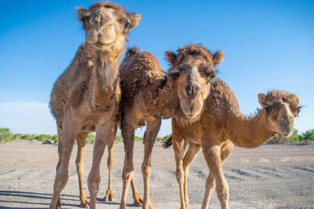 Poserende kamelen
