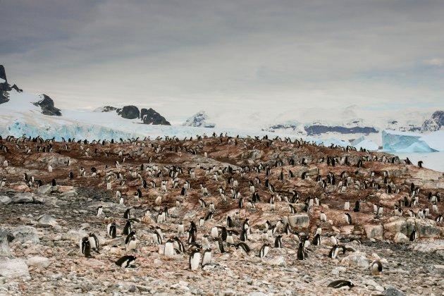 De pinguïns van Cuverville Island