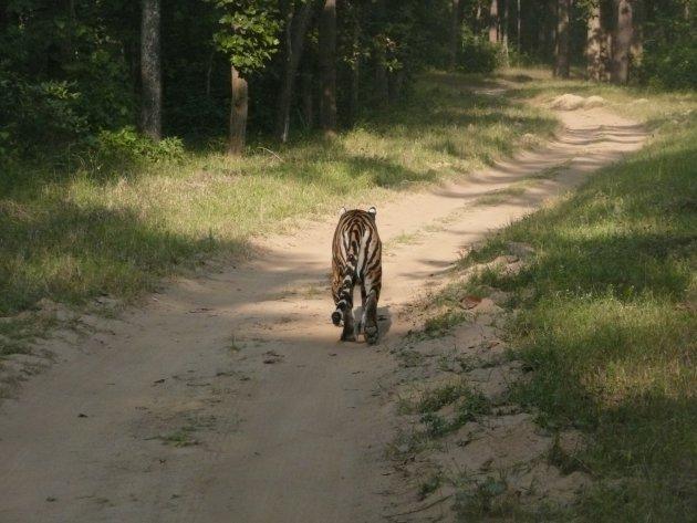 Daar vind je nog tijgers!