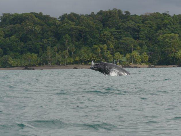 Walvissen in Nuquí