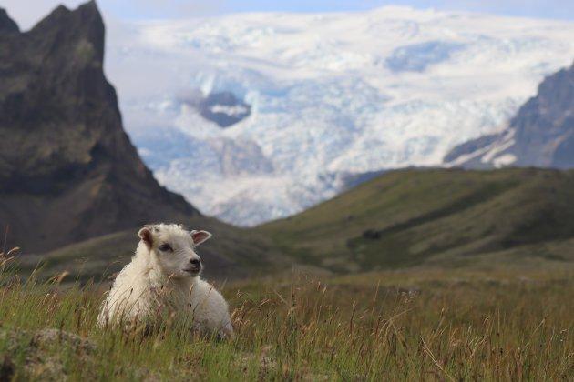Het liefste lammetje van IJsland