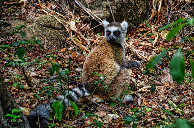 Zeldzaam .... Ringstaartmaki ( Lemur catta)