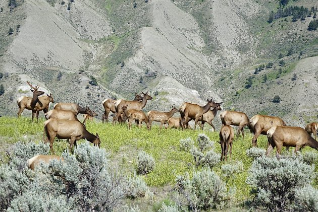 Elk herd Yellowstone NP