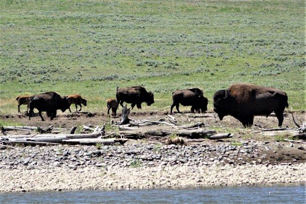 Bizons in Yellowstone NP