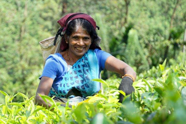 Thee plukster in Ulapana, Sri Lanka