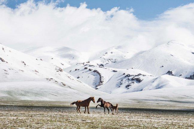 Wild horses of Kyrgyzstan