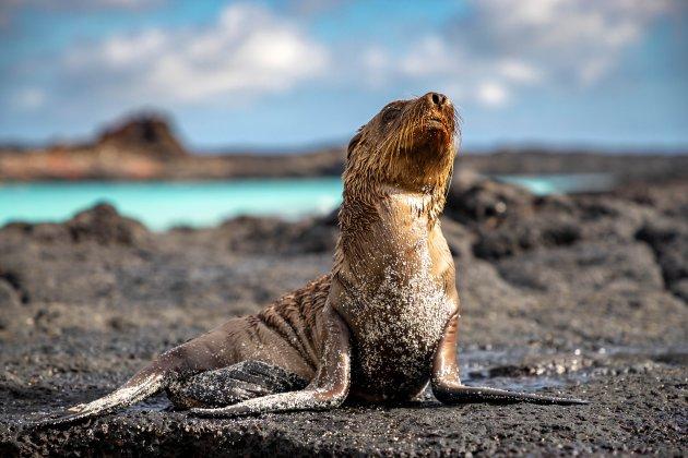 Sealion puppy op Sombrero Chino Santiago Galapagos