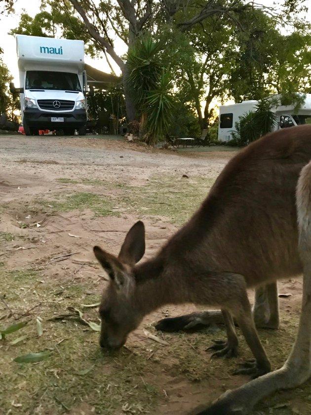 Kamperen tussen de kangoeroes