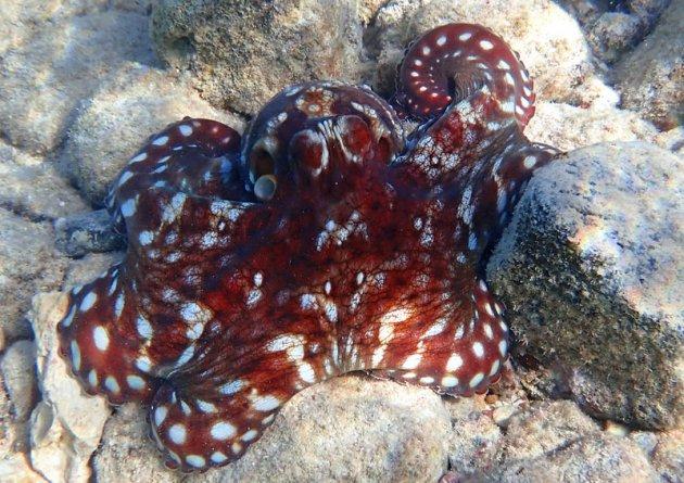 De verschillende kleuren van de octopus