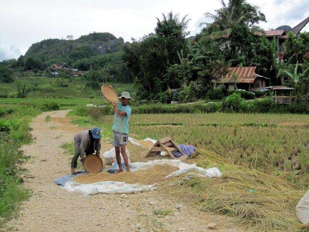 rijst-oogst