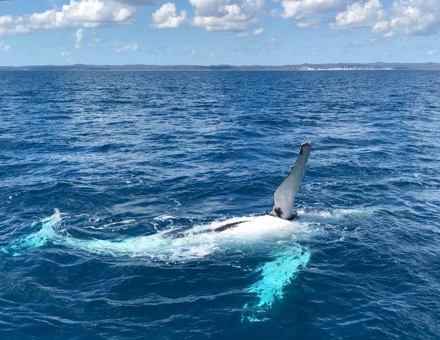 Zwaaiende walvis