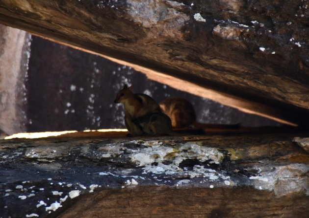 Rotskangoeroes in Kakadu NP