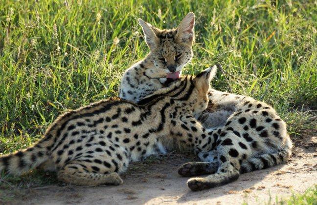 serval met jong