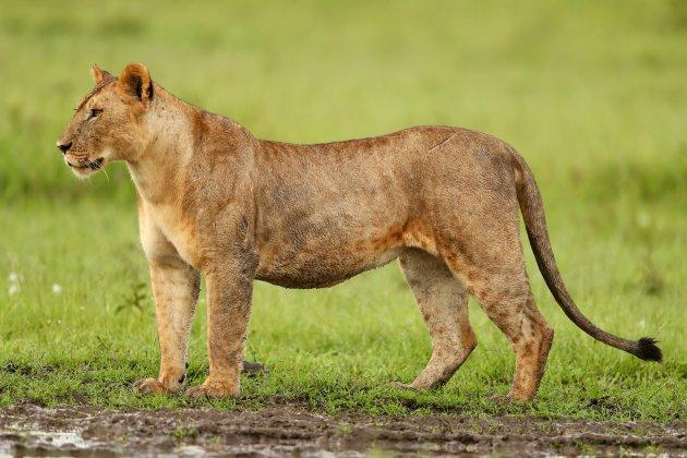 Imposante leeuwin