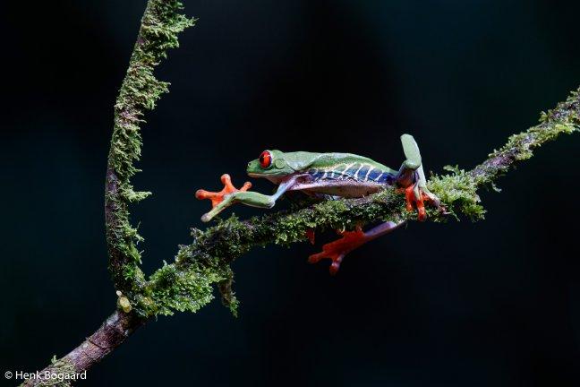 roodoogboomkikker