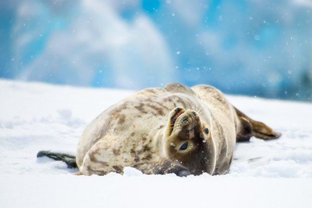 Weddell zeehond.