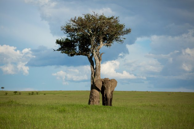 Olifant bij boom