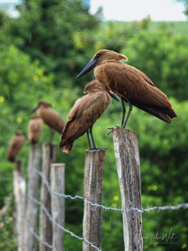 Hamerkopvogel