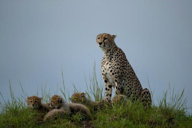 Cheetah met jongen