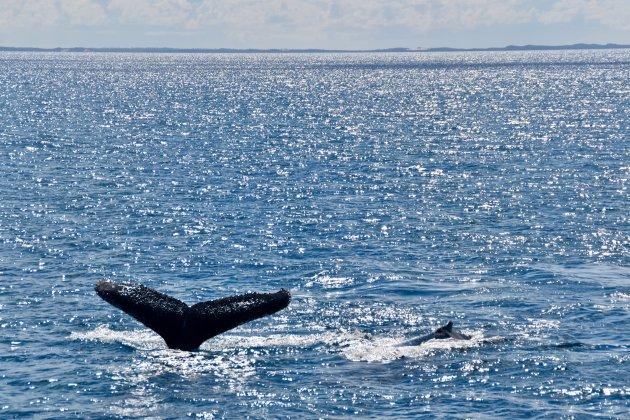 Walvissen spotten voor de kust van Fraser Island