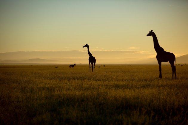 Landschap met Giraf