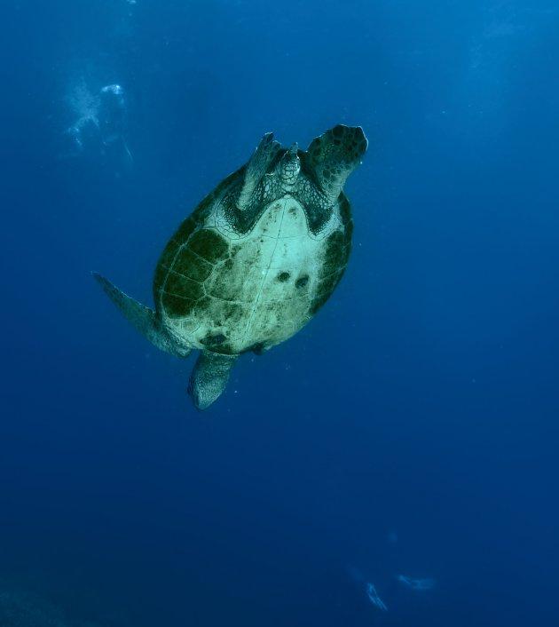 soepschildpadden
