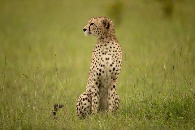 Alerte Cheetah