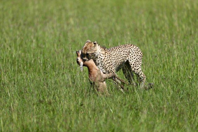 Cheetah met prooi