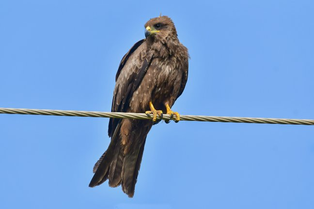 wouw (kite) op de draad bij Kotu