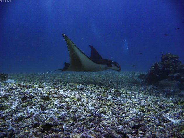 Manta's in Komodo reservaat