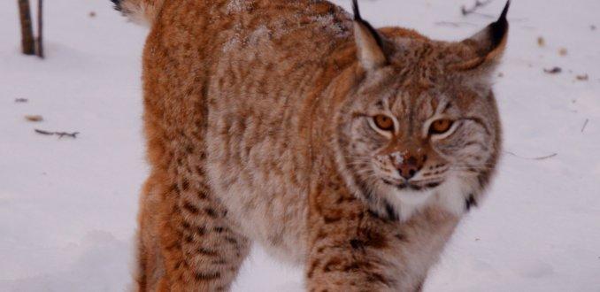 Lynx in Polar Park
