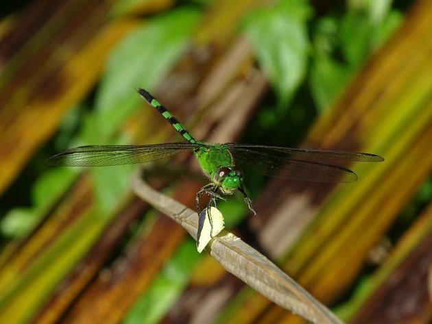 Groene etende Libelle