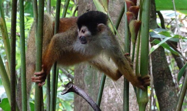 Brutale aap