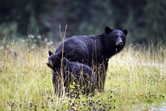 Zwarte beren in het Olympisch park