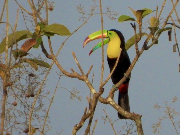 Keel-billed toucan vroeg in de morgen
