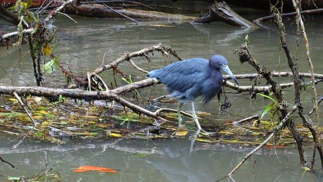 Blauwe reiger