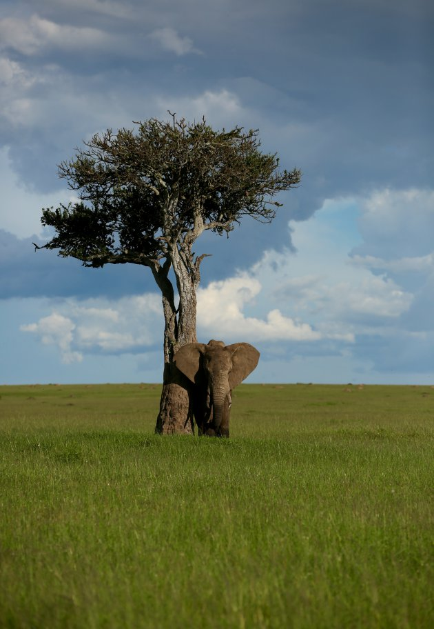 Olifant bij boom 2
