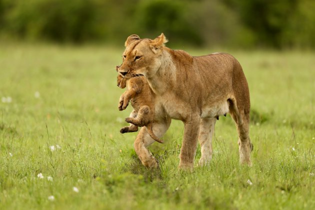 Moeder met welp