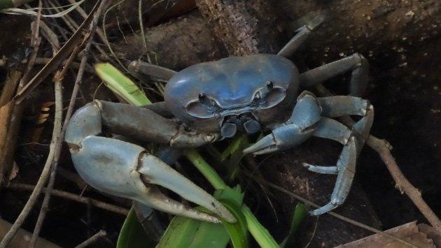 Blauwe, blad etende krab