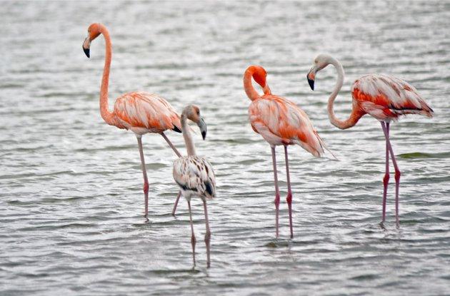 De verschillende kleuren van de flamingo