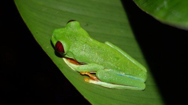 Roodoog groene kikker