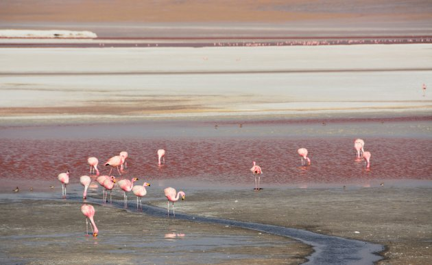 Red in red, flamingo's in het Laguna Colorada