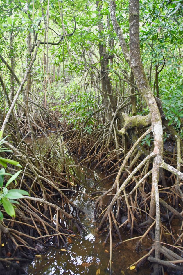 De mangrove