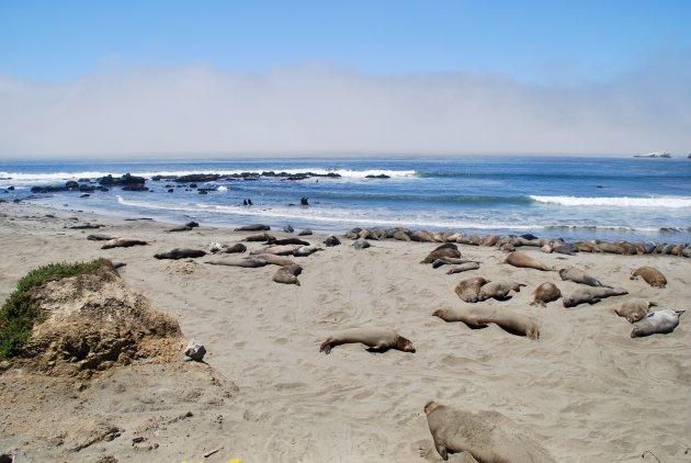 Zeeolifanten op het strand